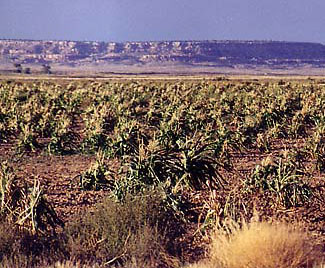 hopi-corn-field